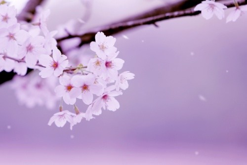 幸手桜まつり 駐車場
