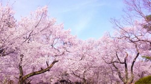 深谷桜まつり 駐車場